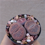 Lithops Aucampiae Cluster