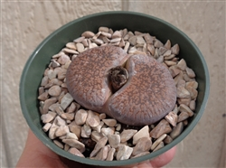 Large Lithops Aucampiae