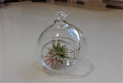 "Mini 2"" Glass  Plant Orb/Terrarium"