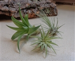 Mini Tillandsia Assortment  3 Pack Air Plants