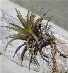 Tillandsia Neglecta Red Giant