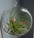 "6"" Glass Plant Orb/Terrarium Kit"