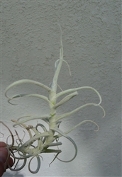 Tillandsia Paleacea Giant Form