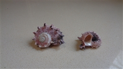 "Pink Delphinula Shell 1""-2"""