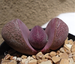 "Purple Split Rock-Pleiospilos Nelii ""Royal Flush"""
