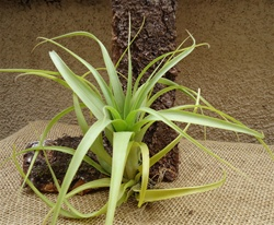 Tillandsia Polystachia Large Form