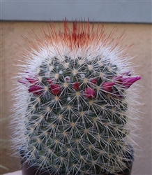 Red Headed Irishman Cactus Mammillaria Spinosissima
