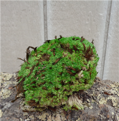 Royal Pool Moss