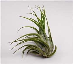 Large Tillandsia Ionantha Scaposa Air Plants