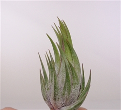 Tillandsia Ionantha Scaposa Air Plants