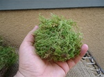 Green sheet moss for terrariums and orbs