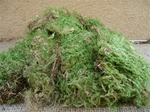 Large portion green sheet moss