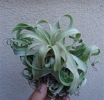 Tillandsia Streptophylla Mexico Air Plants