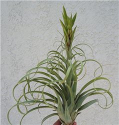 XL Tillandsia Streptophylla x Novakii RARE Air Plants