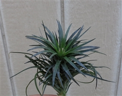 "Tillandsia Stricta cv ""Green Goddess"""