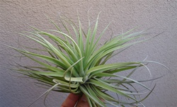 Tillandsia Stricta Stiff Gray Giant