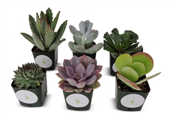"Succulent Plants Assorted Collection 6 Pack in 2"" Pots"