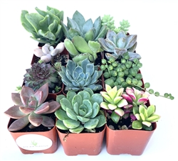 "Succulent Plants Assorted Collection 12 Pack in 2"" Pots."