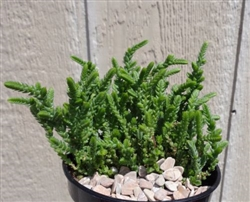 Watch Chain Succulent Crassula Muscosa