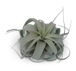 Med/Large Tillandsia Xerographica
