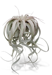 "Tillandsia Xerographica XL 8-12""+ Air Plants"