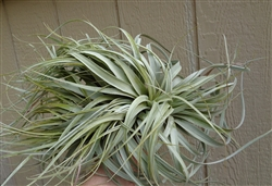 Tillandsia Xerographica x Capitata Crested Form Air Plant